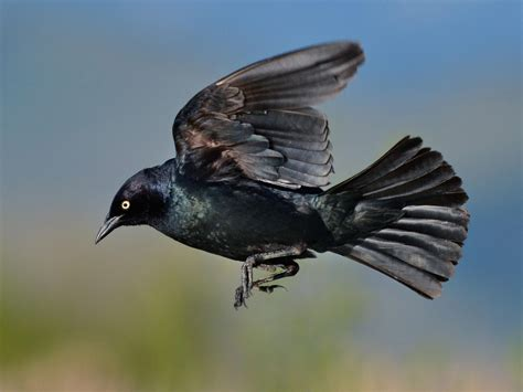 black bird brewer s blackbird audubon field guide