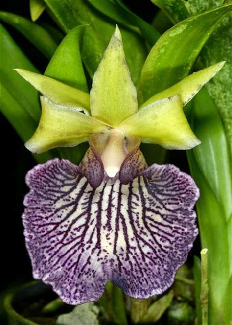 7 interesting facts about colombian orchids colombia 17 best images about orchids orchidea orqu 237 deas on