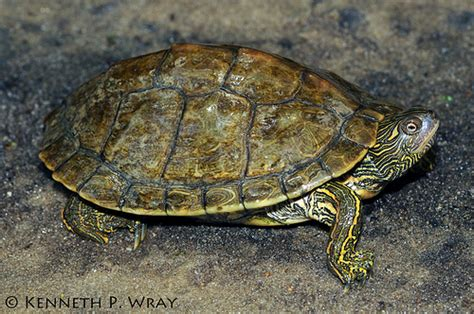 texas map turtles graptemys versa texas map turtle flickr photo
