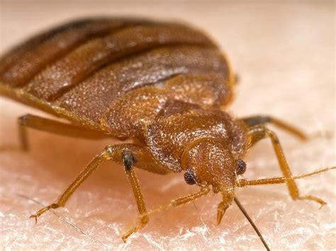 bed bug photo bedbug cure may be worse than the bite health officials
