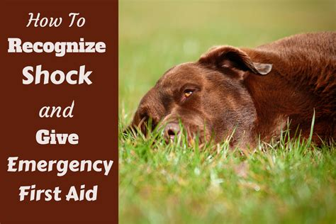 after you get your puppy shock in dogs the symptoms and emergency treatment