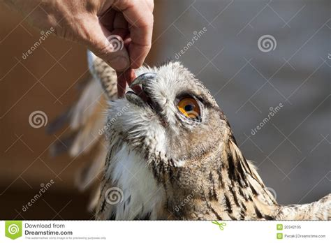 feeding owl royalty free stock photo image 20342105