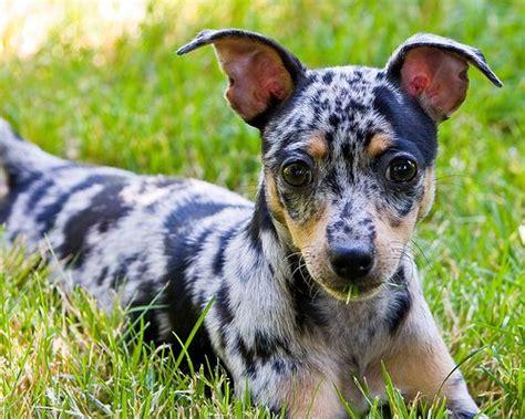rat terrier puppies 25 best ideas about rat terriers on rat terrier dogs rat terrier puppies