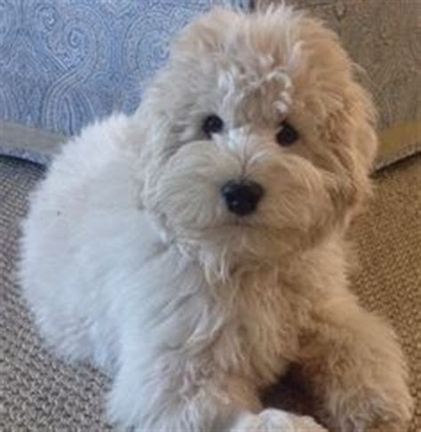 mini goldendoodles jacksonville fl a beautiful teddy goldendoodle englishgoldendoodle