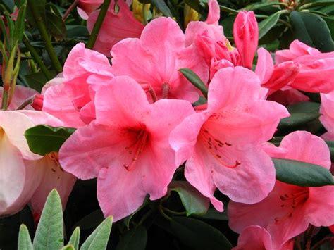 rododendro in vaso rododendro rhododendron rhododendron piante da