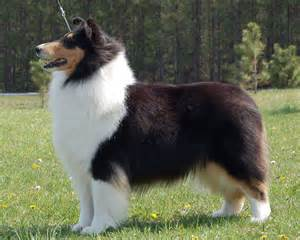 tri color collie akc collie bitches