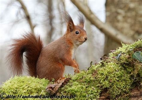 Mark D by Ouessant Digiscoping Ecureuil Roux Red Squirrel