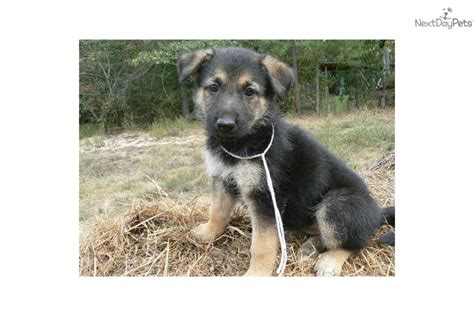 grey german shepherd puppies gray german shepherd puppies