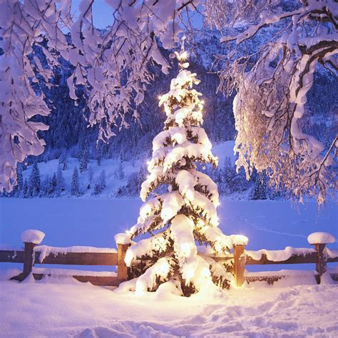 snow covered christmas trees wallpaper snow wallpaper