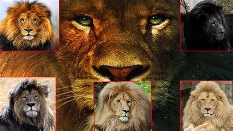 imagenes de leones increibles leones del mundo 8 razas de leones del mundo un gran