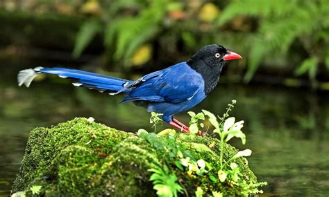 Perangko Taiwan Endangered Mammals Postage Sts Pictorial taiwan blue magpie quot tailed mountain quot charismatic planet charismatic planet