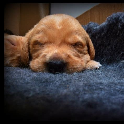 golden retriever puppies for sale cornwall golden retriever x labrador puppies st agnes cornwall pets4homes