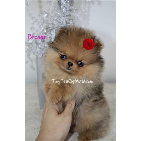 teacup pomeranian puppies for sale in arizona rarest blue eye merle teacup quot a pomeranian puppy for