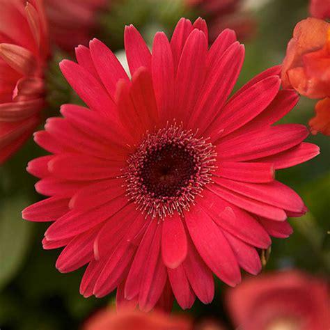 gerber daisies gerbera