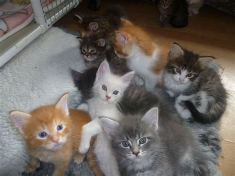 cats for sale stunning pedigree maine coon kittens for sale