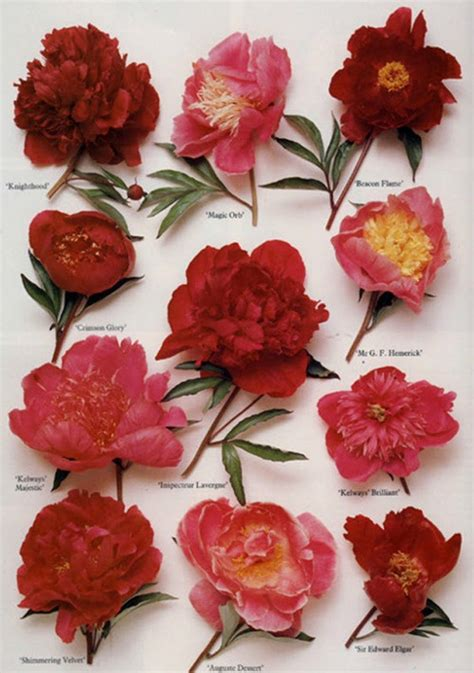 different types of peonies garden love pinterest