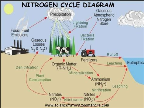 diagram of nitrogen cycle nitrogen cycle and fixation