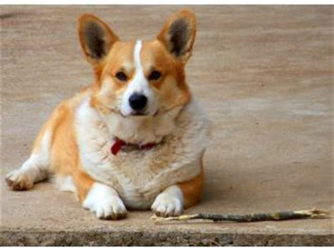 corgi puppies raleigh nc pembroke corgi puppies in arkansas