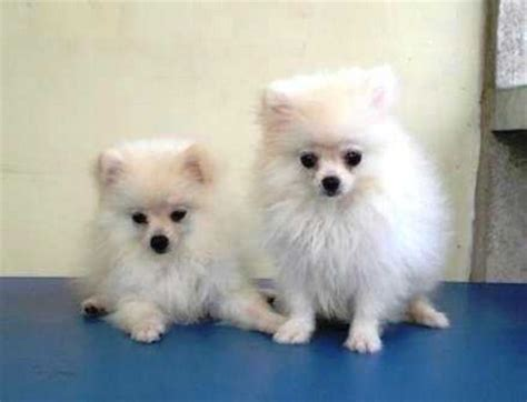 pomeranian breeder nj pomeranian breeders breeds picture