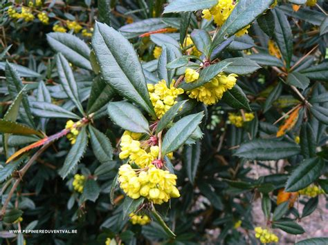 Pictures Of Flowers by Berberis Julianae