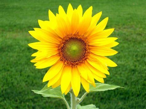 imagenes de flores de girasol sunflowers and the sun
