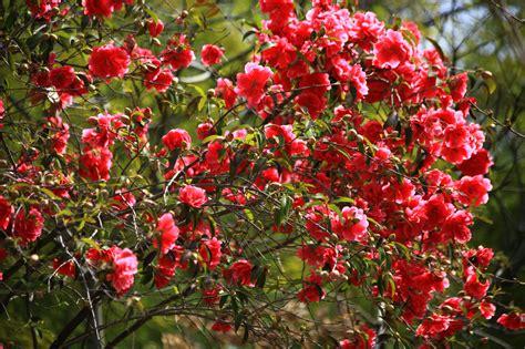camellia flowering shrub camellia shrubs flowers bokeh wallpaper 3872x2581