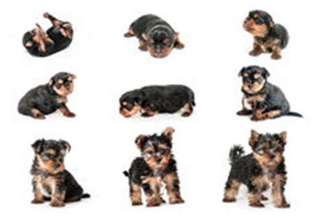 yorkie growth stages stages of growth puppy terrier stock image image of hair 67738659