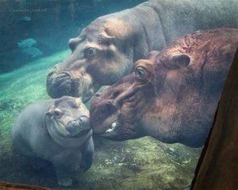si鑒e social hippopotamus nursing baby fiona baby fiona the hippo cincinnati zoo