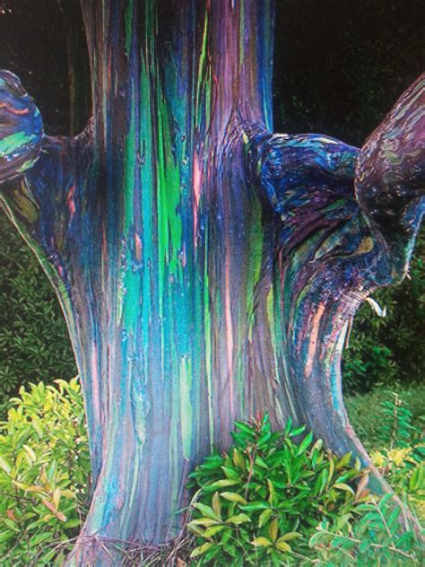 rainbow tree rainbow eucalyptus trees with joan
