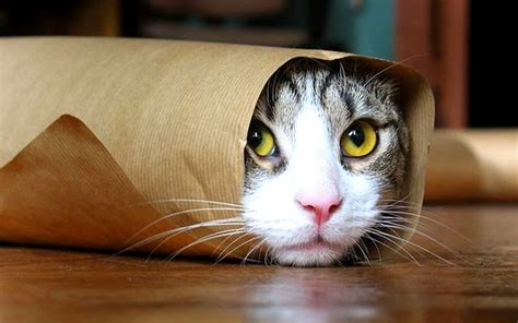 cat wallpaper gallery 16 funny cats wallpapers high quality download