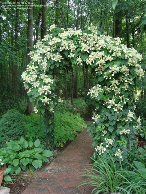 what is a climbing plant climbing hydrangea seeds and plants