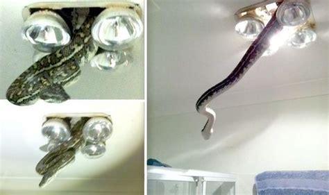 snake in bathroom snake bursts through bathroom light fitting in queensland