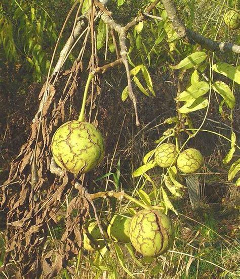 borne fruit definition d 233 finition noyer noir juglans nigra noyer d am 233 rique