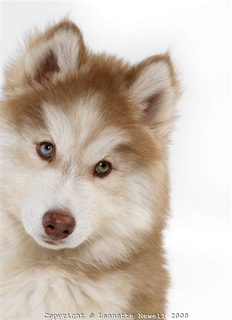 brown husky puppy brown siberian huskyhusky wallpaper siberian husky puppy lennette newell picture