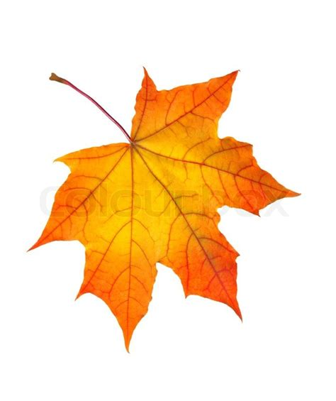 Beautiful Autumn Maple Leaf Isolated On White Background Stock Photo Colourbox Fall Leaves On White Background