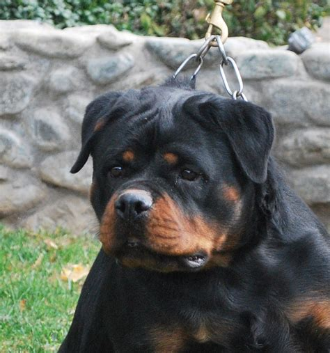 cheap rottweiler puppies 100 get cheap rottweiler rodolf the rottweiler 15 inch