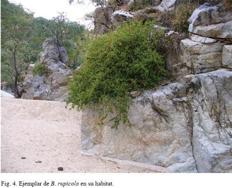 bonsai de copal el en baja california en mercado libre m 233 xico dos nuevos taxa de bursera burseraceae de baja california sur m 233 xico
