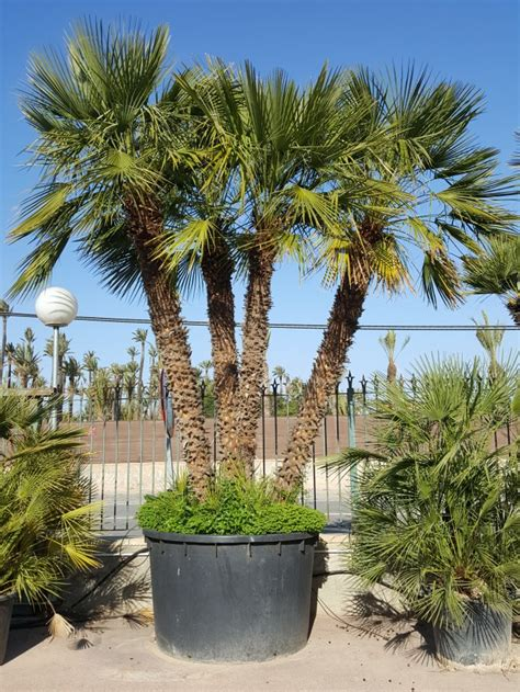blue mediterranean fan palm for sale palmfarm catalogue palm trees for sale in spain in