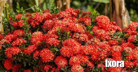 miniature shrubs that flower ixora growing and care