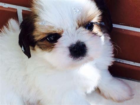 raza shih tzu precio razas de perros peque 241 os listado completo comparativa