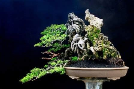 jenis bonsai asem jawa termahal  layak dilombakan