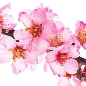 foto mandorlo in fiore gusti senza tempo gelateria della passera pagina 2