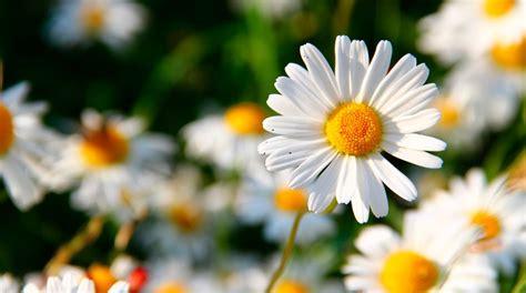 imagenes de uñas flores las 10 mejores flores medicinales