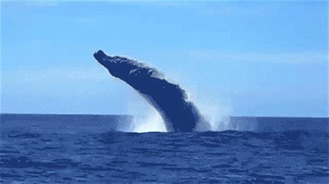 wale gif whales gif find share on giphy