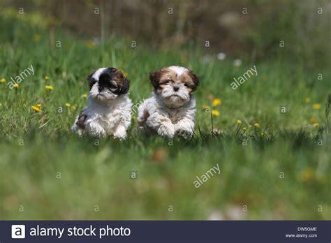 shih tzu running shih tzu two puppies running in a meadow stock photo royalty free image