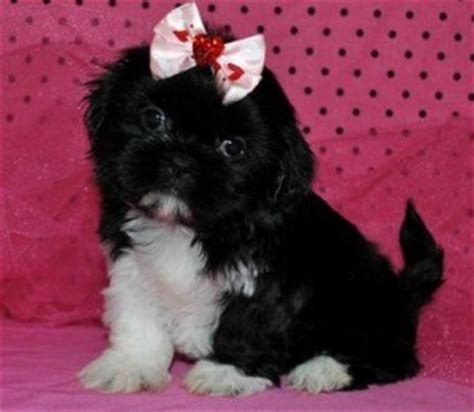 teacup yorkies for sale in new orleans yorkie poo puppies for sale in new orleans louisiana yorkie poo puppies for sale in
