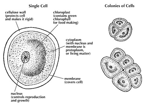 algal cell diagram protococcus students britannica homework help