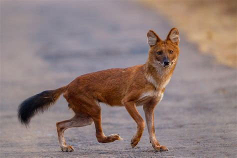 dhole puppy icons of anamalais asiatic dhole the pollachi papyrus pollachi travel