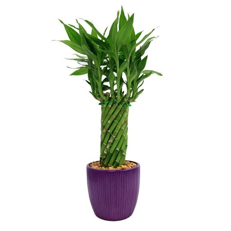 plant l home depot delray plants lucky bamboo cylinder braid in 4 in ribbed