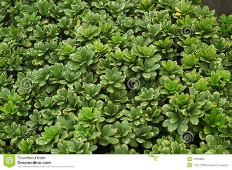 green shrub pittosporum tobira stock photo image 41598085